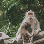 Okrutne ekspetymenty na małpach